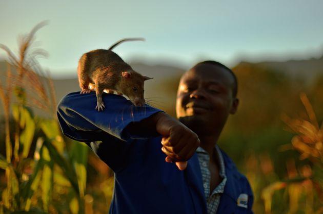 APOPOでは、ネズミと人間がパートナーを組む
