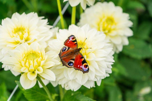 Les papillons colorés souffriraient davantage du changement