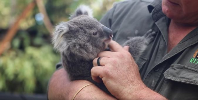 Koala joeys receive their first health check at the Australian Reptile Park.