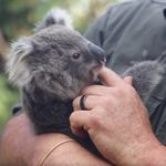 This Video Of Baby Koalas Getting Their First Health Checks Is Too