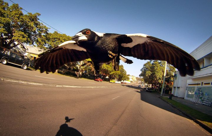 A magpie swoops a cyclist along Lambton Road, New Lambton, in Newcastle.