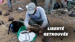 Sur les îles Galapagos, nouvelle réintroduction de tortues