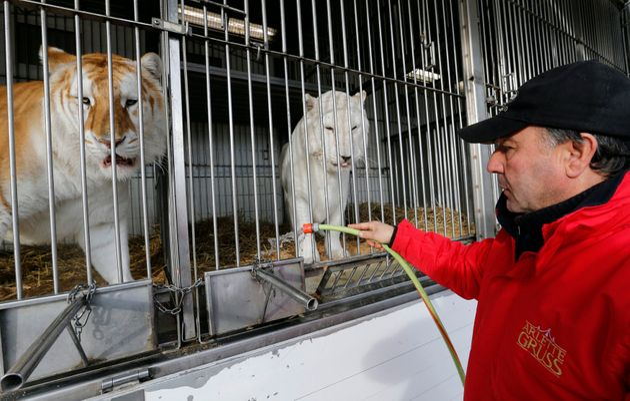 Des tigres du cirque Arlette Gruss en cage à Bordeaux, en février 2014 (photo
