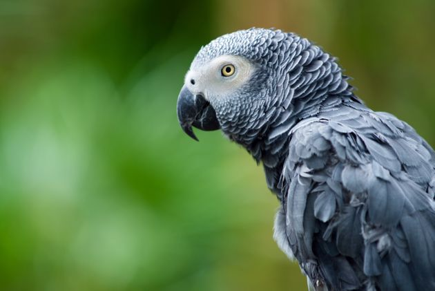 Portrait of African Gray