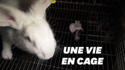 L214 dévoile les conditions de vie épouvantables des lapins en
