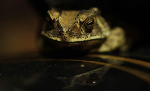 Ανατριχιαστική ανακάλυψη: Ποια φίδια τρώνε ένα-ένα τα όργανα βατράχων ενώ είναι ακόμα