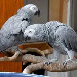Des perroquets retirés d'un zoo anglais parce qu'ils insultaient les