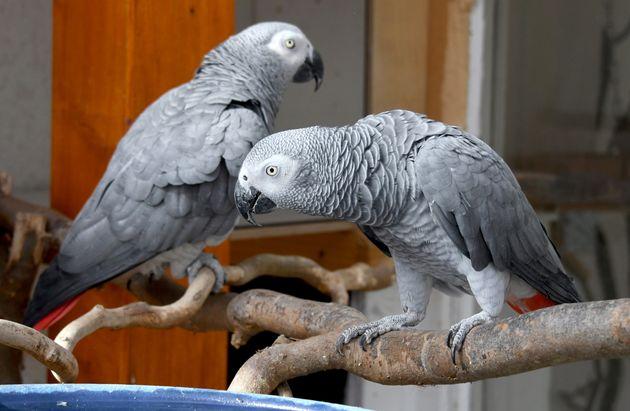 Photo d'illustration de deux perroquets, dans un refuge à Leegebruch en Allemagne, le 10 mars