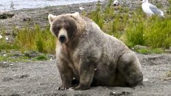 Blessed Be 'Fat Bear Week', The Only Good Thing In The