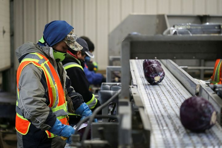 Migrant workers wear masks and practice social distancing to help slow the spread of the coronavirus disease (COVID-19) while trimming red cabbage at Mayfair Farms in Portage la Prairie, Man. on April 28, 2020.
