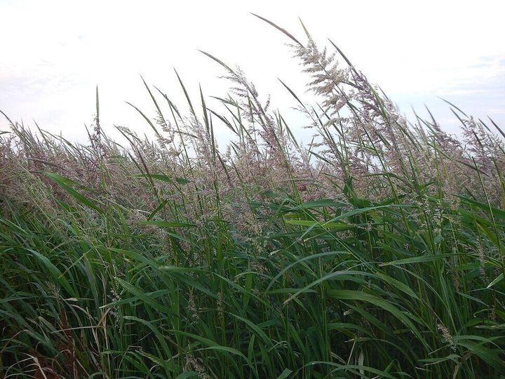 야생 벼. 중국 양츠강 유역에서는 1만2000년 전부터 야생 벼를 먹었다.