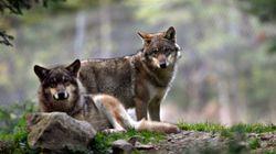 Un parc à loups détruit dans les Alpes-Maritimes, le sort des animaux