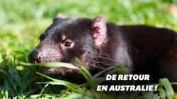 Des diables de Tasmanie en Australie pour la première fois depuis 3000