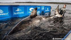 「海の女王」は推定50歳。体重1.6トンの巨大ザメがカナダ沖に出現【動画】