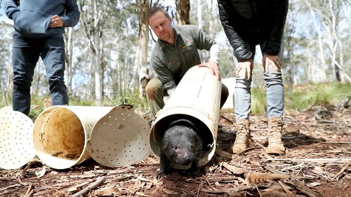 Chris Hemsworth and wife Elsa Pataky (both partially seen) release a Tasmanian devil into the wild with Aussie Ark at Barrington Tops, Australia, September 10, 2020 in this still image from handout video.