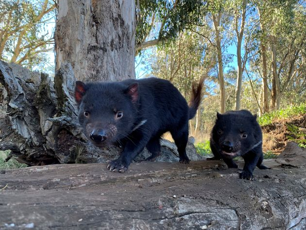 Tasmanian devils are seen in Australia in this undated handout