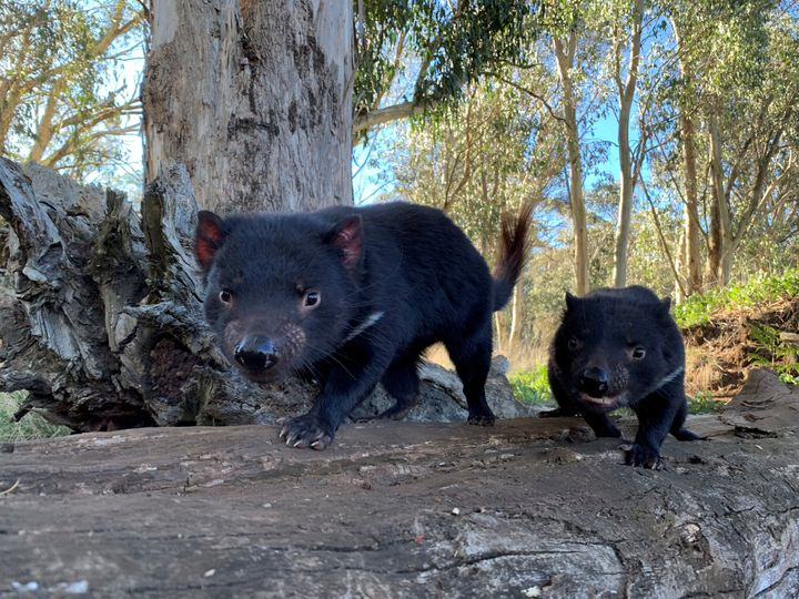 Tasmanian devils are seen in Australia in this undated handout image.