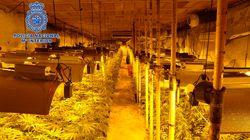 La Policía desmantela la mayor plantación de marihuana hallada hasta la