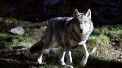 Sept loups errants recherchés après les crues dans l'arrière-pays