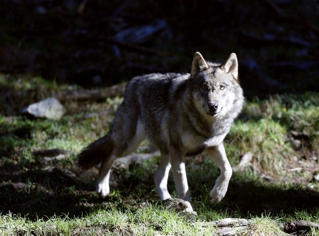 Un loup photographié dans le parc du Mercantour à Saint-Martin-Vésubie, dans les...
