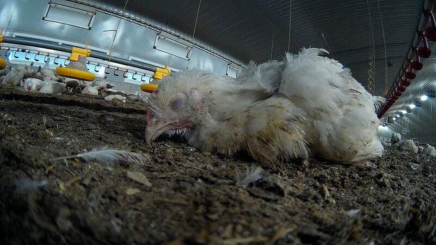 Un gran avance en el bienestar animal en