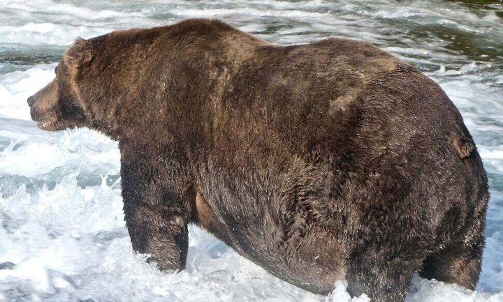 알래스카 캐트마이 국립공원에서 가장 몸집이 큰 불곰으로 선정된 747이 브룩스강에서 연어를 잡고 있다. 9월 20일 촬영한 모습이다.