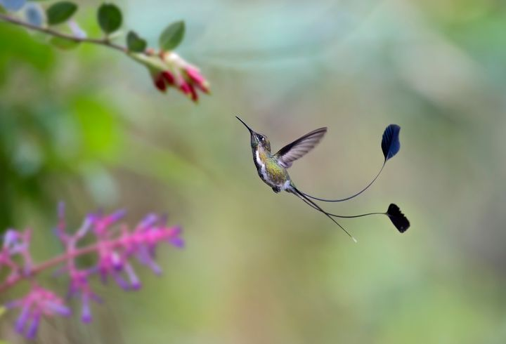 A spatuletail hummingbird in flight about to get nectar from a flower. More than half of a male's length is taken up by its dramatic tail feathers.