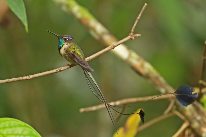 A marvelous spatuletail perched on a twig at Huembo Lodge.