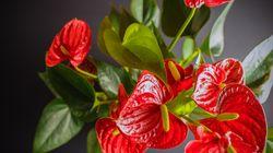 15 plantas de interior que florecen en