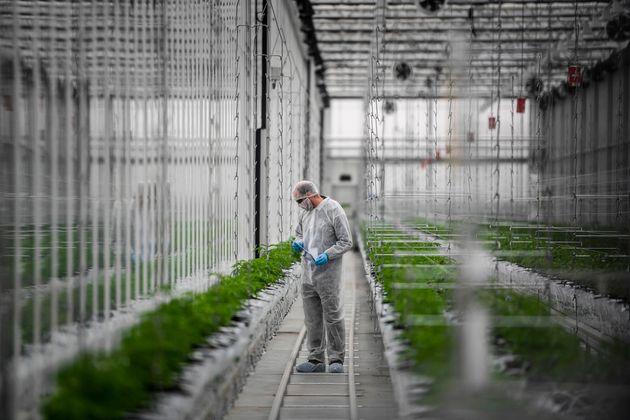 Comme dans de nombreux autres pays d'Europe, la France va expérimenter l'usage du cannabis à...