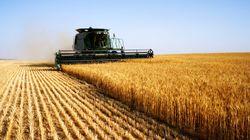 L'Argentine devient le premier pays à autoriser la commercialisation de blé