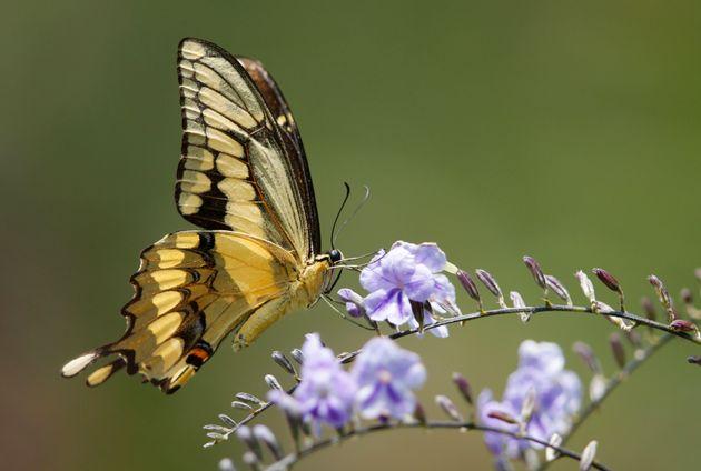 Τσέρνομπιλ: Ανακαλύφθηκε πεταλούδα σε μέγεθος