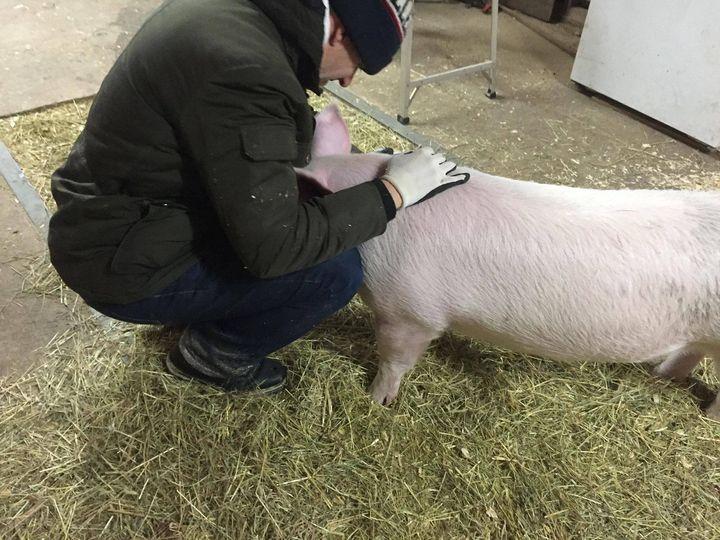 Pascal Bédard en train de réconforter un porc.