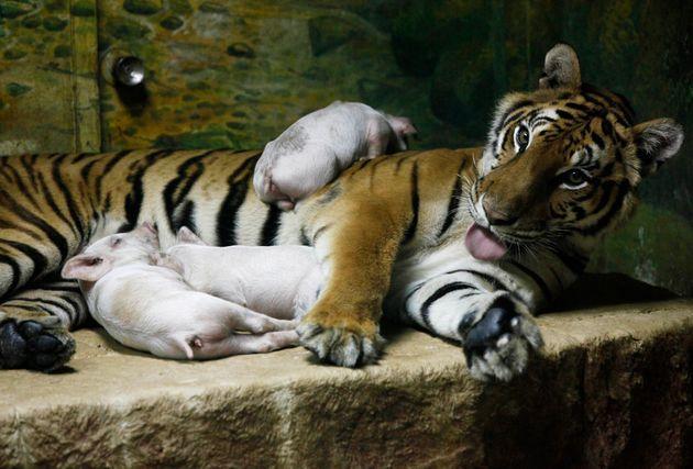 トラと子ブタを一緒の檻に入れるショー。タイのシーラチャ・タイガー動物園で2010年撮影。(※ネット上で広まっている写真では、子ブタはトラの衣装を着ている)