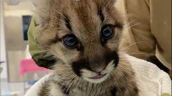 2頭のピューマの赤ちゃん、山火事から救出され動物園の病院へ。治療受ける動画が公開