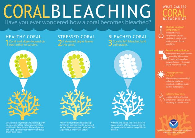 Coral bleaching leaves the delicate structures sick and