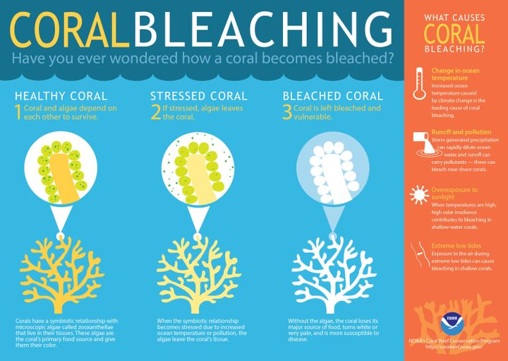 Coral bleaching leaves the delicate structures sick and vulnerable.