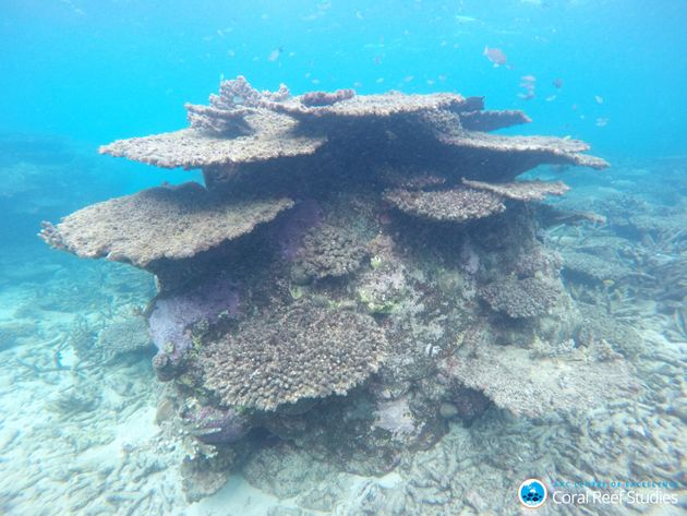 Giant table corals and branching corals were dramatically impacted by three bouts of mass bleaching along...