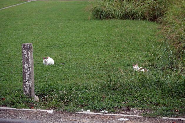 多摩川河川敷の猫