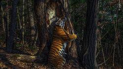 木と抱擁するトラの写真が美しい。ロシア極東の森で隠しカメラで撮られた1枚、大賞に輝く【画像集】