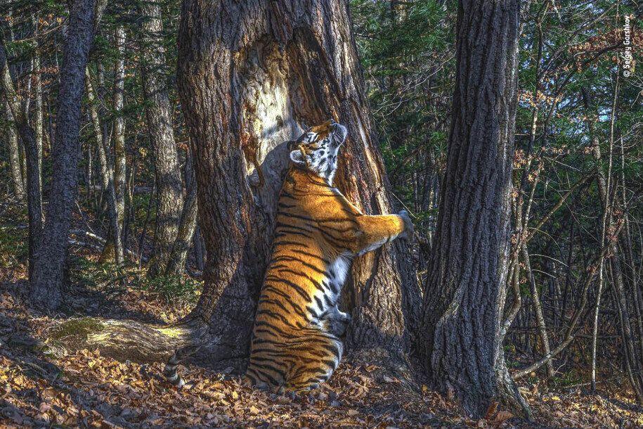 연해주 표범의 땅 국립공원에 설치한 무인카메라로 촬영한 암컷 아무르호랑이의 냄새 표지 모습. 올해의 야생동물 사진가 공모전 대상으로 뽑혔다. 세르게이 고르쉬코프
