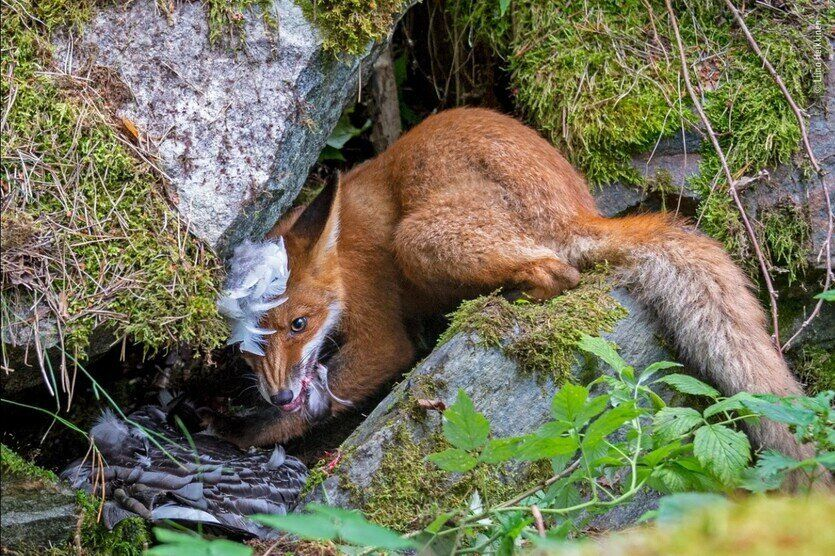 올해의 젊은 야생동물 사진가 대상작 '기러기를 잡은 여우'. 리이나 헤이키넨