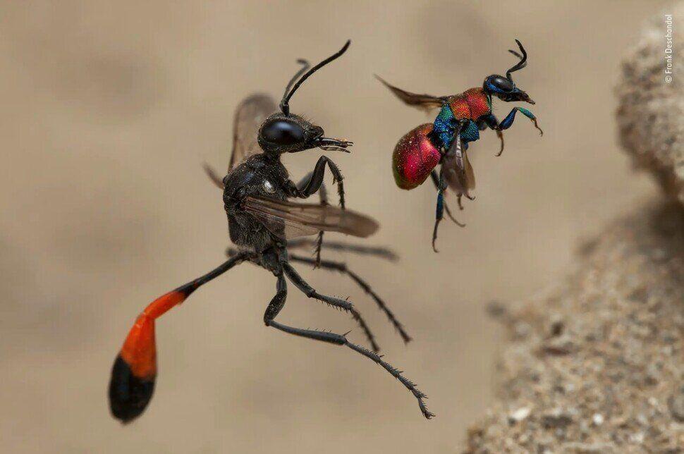 프랑스 사진가 프랑크 디샨돌의 수상작인 '두 마리 말벌'. 기생벌의 일종인 나나니(왼쪽)와 다른 말벌에 탁란하는 뻐꾸기말벌을 담았다. 프랑크 디샨돌