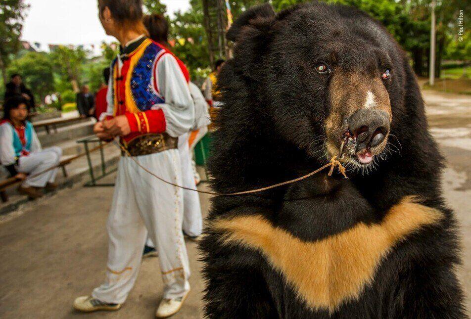 영국 사진가 폴 힐튼의 수상작은 중국 광시족자치구 놀이공원에서 찍은 눈먼 반달곰을 이용한 관광을 담았다. 곰에 대한 고문이 분명하다. 폴 힐턴