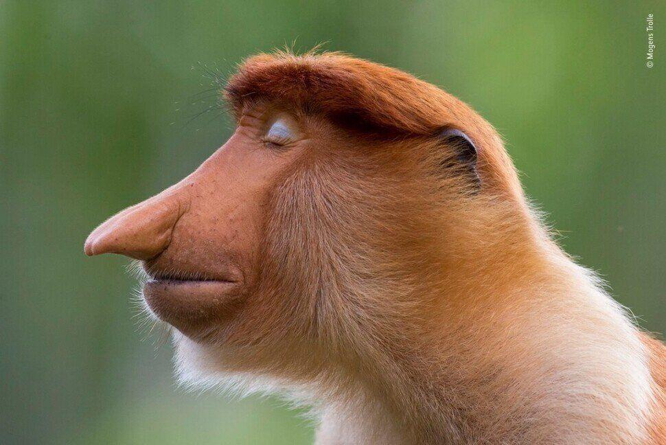 수상작으로 뽑힌 덴마크 사진가 모겐스 트롤레의 '포즈'는 명상에 잠긴 듯한 코주부원숭이를 담았다. 모겐스 트롤레