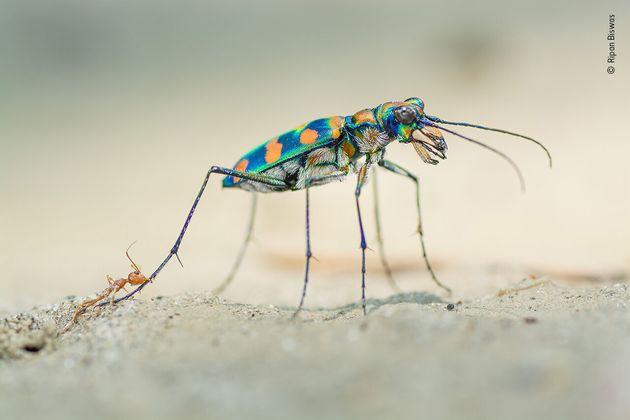 ハンミョウ科の甲虫の後ろ脚にかみつくツムギアリ