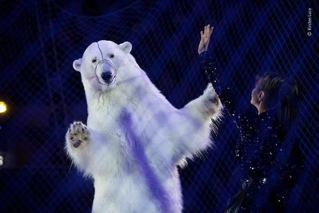 ロシア連邦タタールスタン共和国、サーカスで演技をするホッキョクグマ