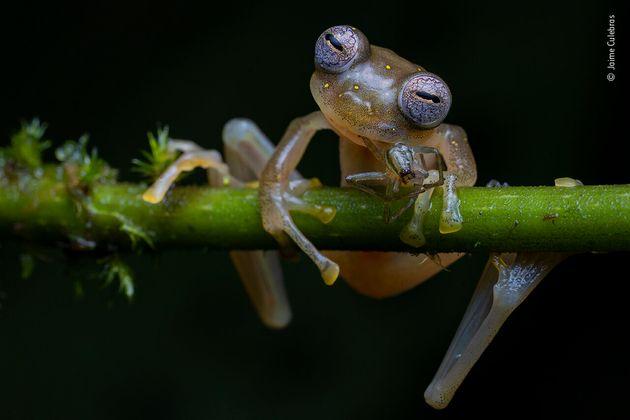 エクアドル北西部、「グラスフロッグ」と呼ばれるアマガエルモドキ科のカエル
