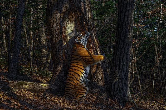 ロシア極東の森、木に抱擁するシベリアトラ