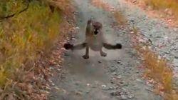 La tensa persecución de un puma a un corredor de